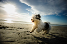 Havanese Dog Running On Sand B...