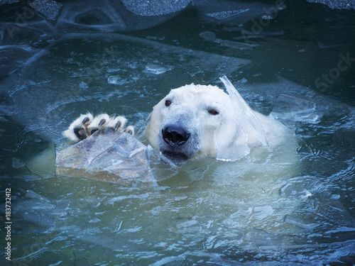 In de dag Ijsbeer The polar bear waves his paw. Emerges from the water breaking a thin layer of ice. Pads on the paw.