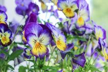 Purple Viola Tricolor Flower Blossom