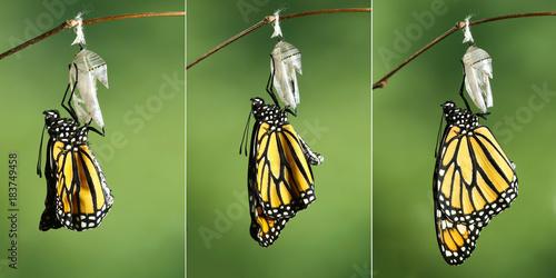 Fotografie, Obraz  Monarch Butterfly (Danaus plexippus) drying its wings after metamorphosis