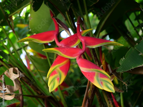 Heliconia Pendula Jardin Creole La Reunion Buy This Stock Photo