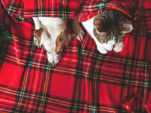 Cat And Dog Under Plaid