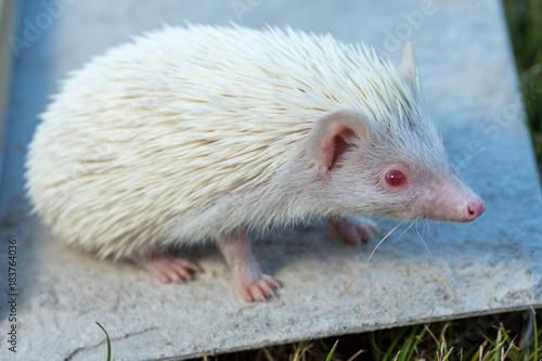 Fotografie, Obraz  African albino hedgehog on wooden boards