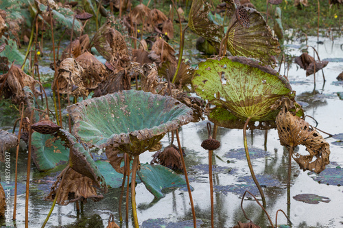 Photo Waterlily pond, dry and dead water lilies, dead lotus flower, beautiful colored