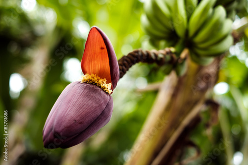 Bluhende Bananenstaude Im Jardin D Eden Ermitage La Reunion Buy