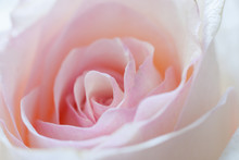Close-up Delicate Pale Pink Rose Bud.