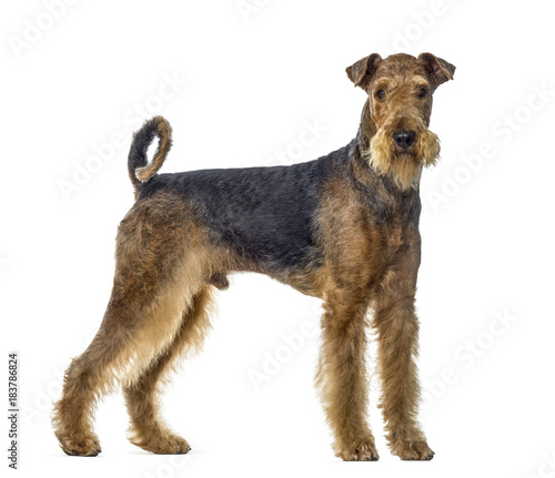 Photo airedale terrier dog standing and looking at the camera, isolate
