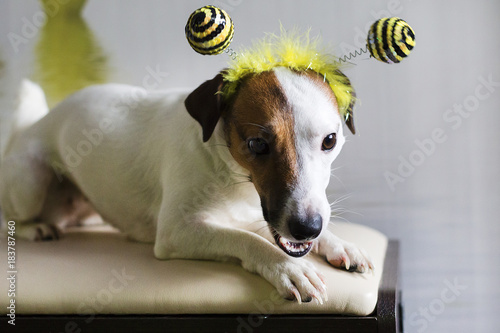 Photo Jack Russell in the rim in the form of bees