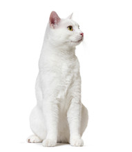 White Mixed-breed Cat Looking ...