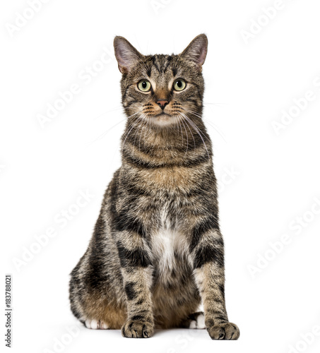 Striped mixed-breed cat sitting, isolated on white, (2 years old Wall mural