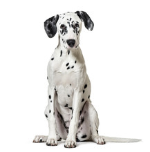 Dalmatian Dog, Sitting, Lookin...