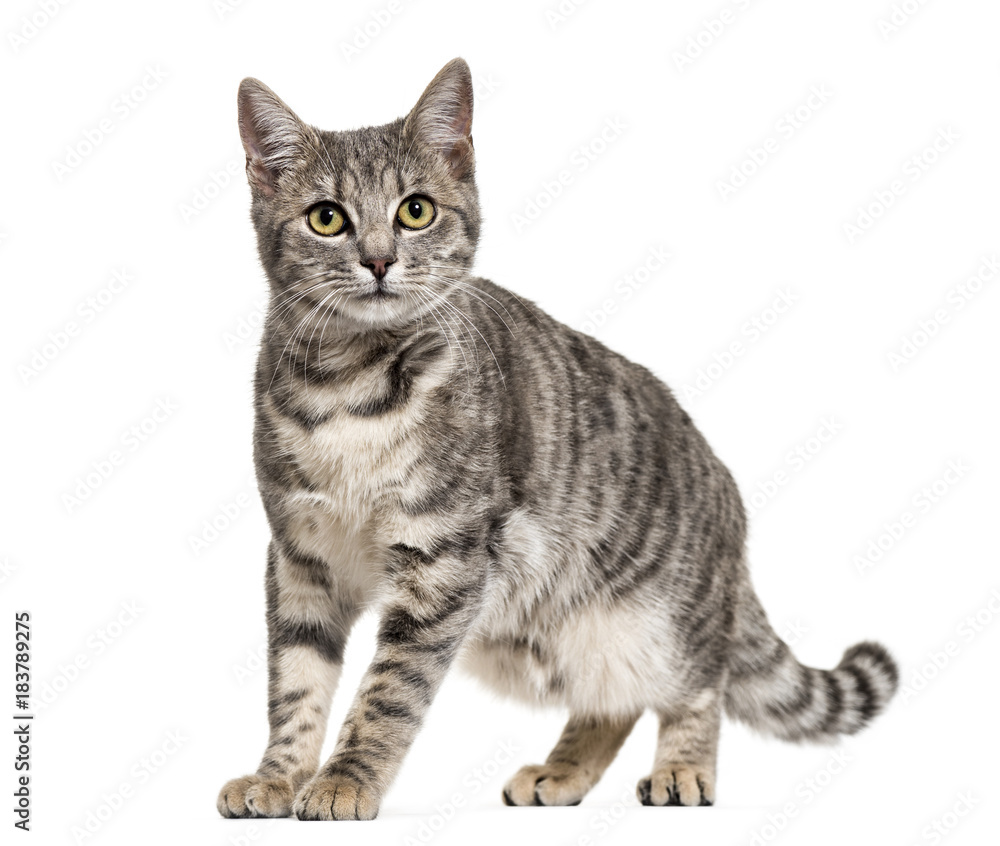 Fototapeta Grey stripped mixed-breed cat standing, isolated on white