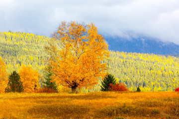 Fototapeta Do salonu Lone autumn birch tree in a hilltop meadow with colorful mountain colors in background, Montana
