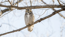 Great Horned Owl (Bubo Virgini...