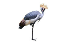 Crowned Crane Isolated On White Background