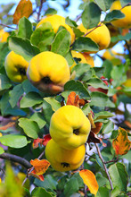 Fresh Fruits Of Quince On The ...