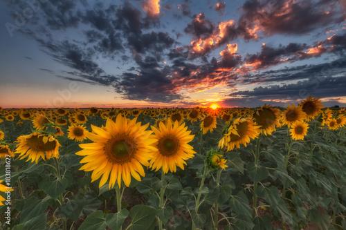Sunflowers at sunset in Castilla in spain