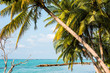 View of nice tropical beach with coconut palm tree, Maldives islands. Close-up.