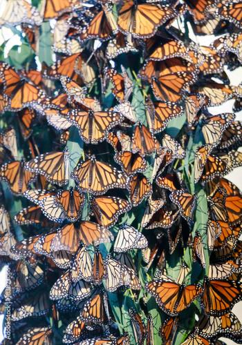 Vászonkép Monarch Butterfly Cluster