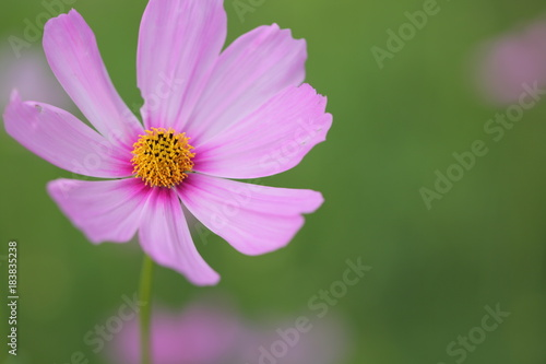 Poster Nature Cosmos flowers in the garden.
