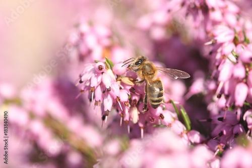 Plakat Pszczoła na wrzosowym okwitnięciu z różowym bokeh