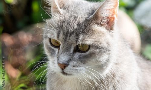 Fototapety, obrazy: Silver white grey cat close up