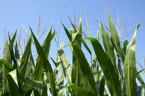 Fényképezés Corn Stalks