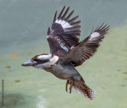 Obraz Kookaburra Bird in Flight - fototapety do salonu