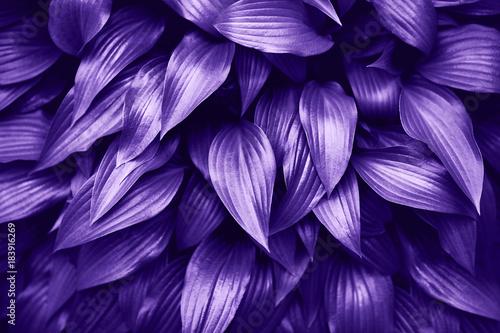 fioletowe-liscie