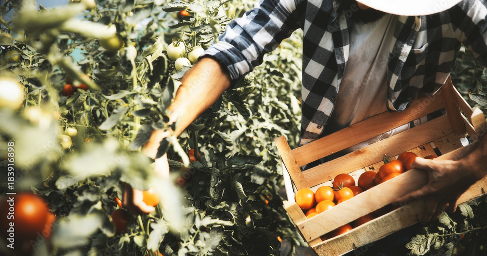 Fototapety, obrazy: Male farmer picking fresh tomatoes from his hothouse garden