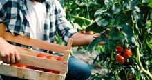Male Farmer Picking Fresh Toma...