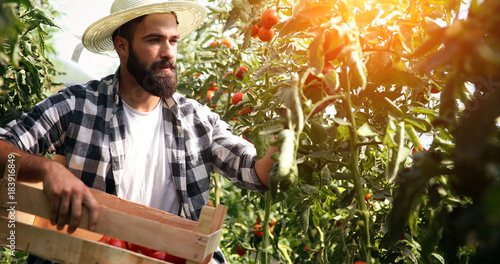 Fototapeta Male farmer picking fresh tomatoes from his hothouse garden obraz