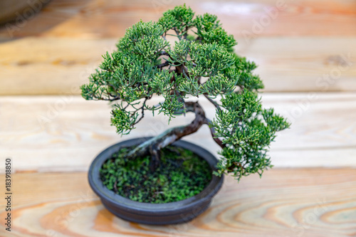 Miniature plant grown in a tray according to Japanese bonsai traditions