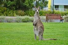 A Wild Grey Kangaroo In Canber...