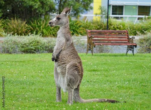 Foto op Plexiglas Kangoeroe A wild grey kangaroo in Canberra, Australian Capital Territory