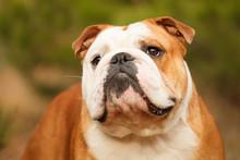Dog Breeds English Bulldog In For A Walk