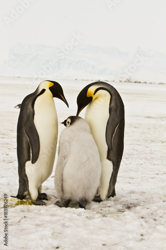 Poster Antarctique The family of the Emperor penguin(aptenodytes forsteri)colony on the ice of Davis sea,Eastern Antarctica