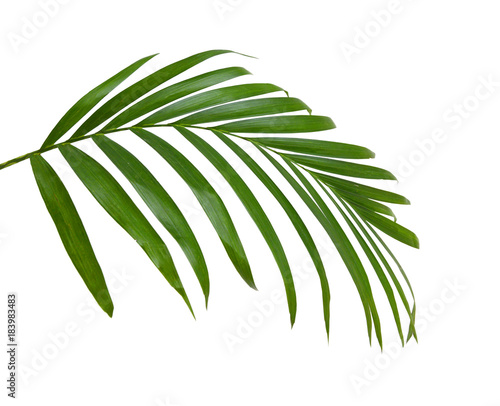 Green leaves of palm tree isolated on white background Wall mural