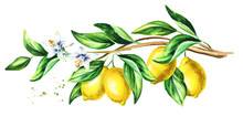 Lemon  Branch With Fruit And L...