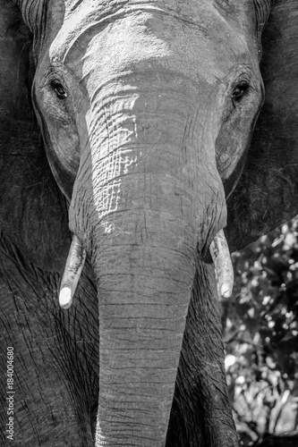 Face of elephant