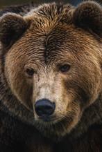 Close Up Of A Brown Bear