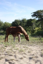 Wild Horses Of Corolla In The Outer Banks Of North Carolina