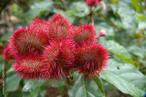 Deurstickers Zanzibar lipstick tree in a spice farm in zanzibar