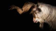 Goat With Long Horns In Front Of Black Background