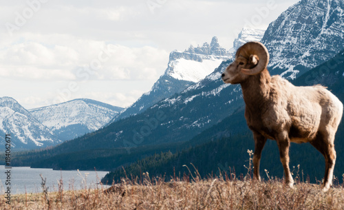 Fotobehang Schapen This is Mountain Sheep Country