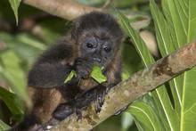 Baby Montled Howler Monkey (Al...