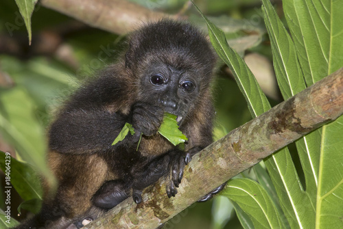 Foto op Plexiglas Aap Baby montled howler monkey (Alouatta palliata) eating tree leaves in rainforest canopy, Cahuita national park, Limon, Costa Rica.