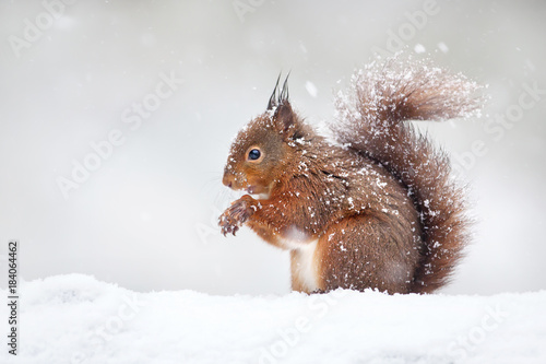 Pinturas sobre lienzo  Cute red squirrel in the falling snow, winter in England.