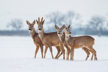 Roe Deer Family In Winter. Group Of Deer In Snow Covered Country. Wild Animals With Snowy Trees On Background.