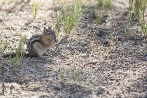Fotografie, Obraz  The tiny Golden Mantled Ground Squirrel stops to eat a seed found in its arid en